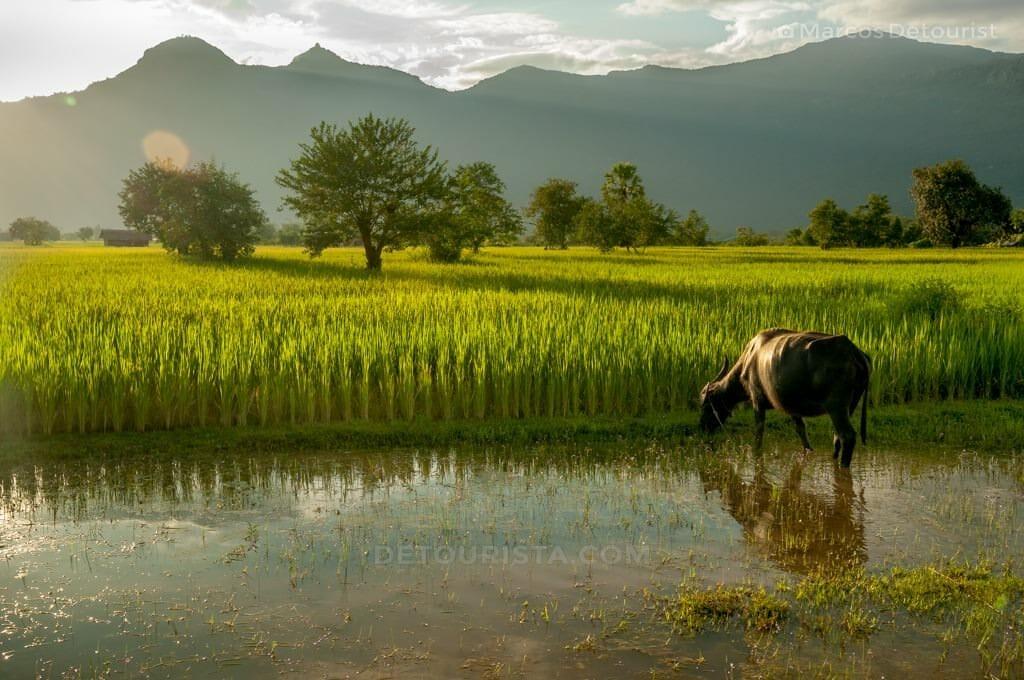Rice paddies at Champasak, Laos