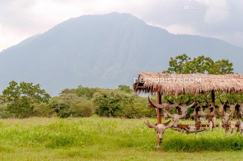 Javan bull skulls at Baluran National Park