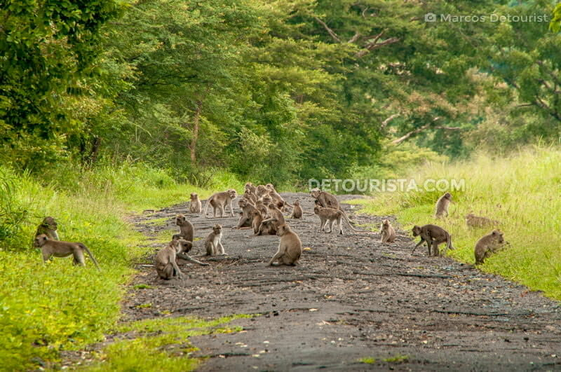 Troop of monkeys at Baluran National Park