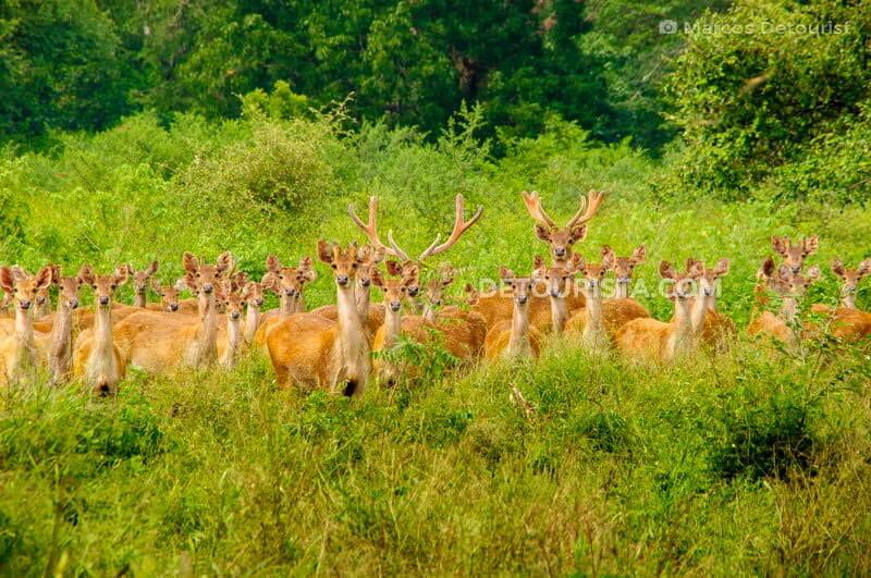 Deer herd at Baluran National Park, in East Java, Indonesia