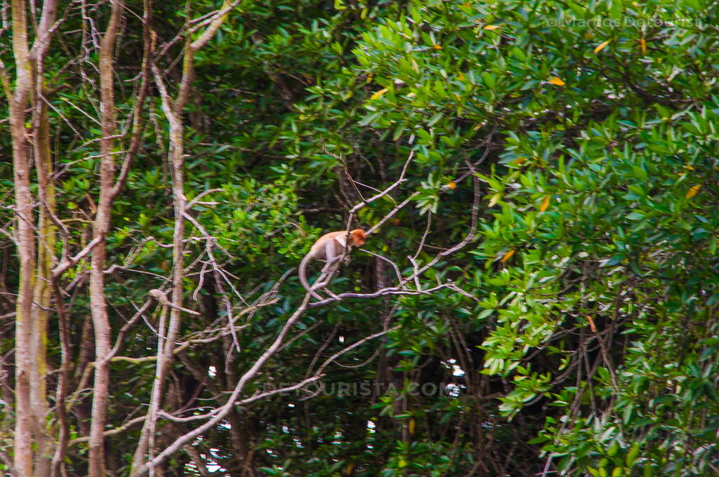 Proboscis monkey along the Brunei River