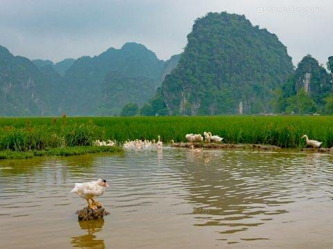 The lone duck that didn't float away when I came too close, in Ninh Binh, Vietnam, on September 2015