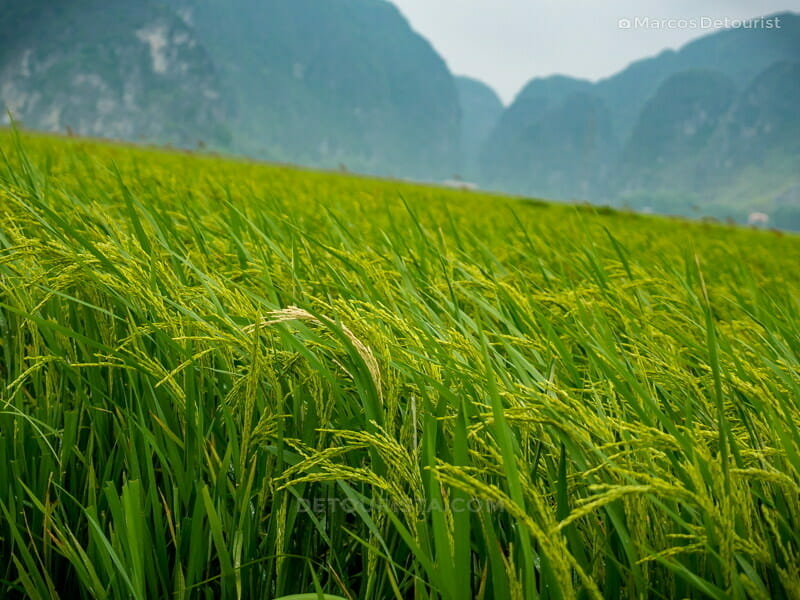 Close view of the blooming rice paddies, almost ready for harvest, in Ninh Binh, Vietnam, on September 2015
