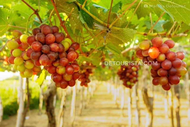 Grapes farm in La Union