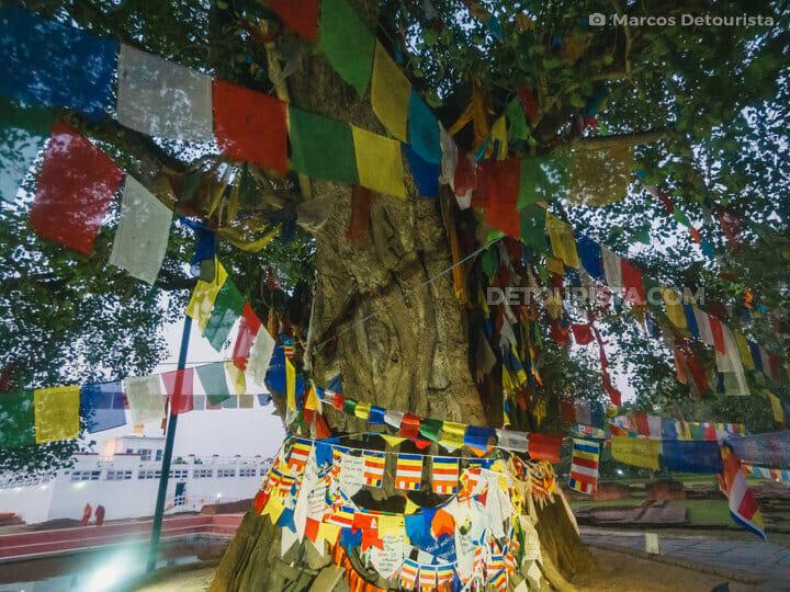 Maya Devi Bodhi Tree, Lumbini