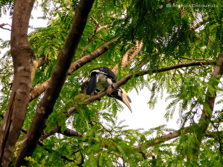 Hornbill at Baluran National Park