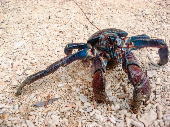 Coconut Crab (Tatus) in Caluya, Antique, Philippines