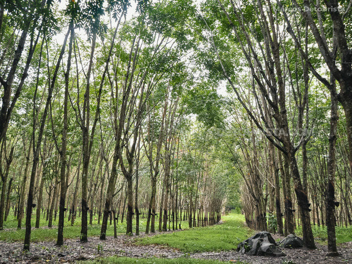 Rubber Plantation, Basilan