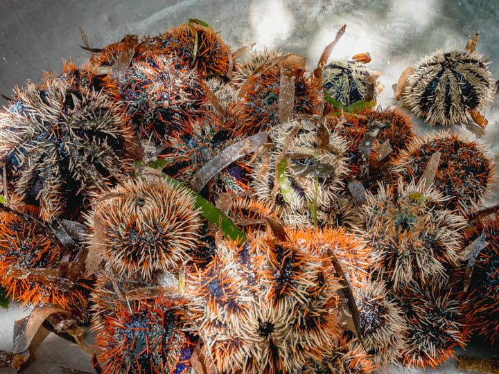 Sea urchin (tirik) in Sibato Island, Caluya, Antique, Philippines
