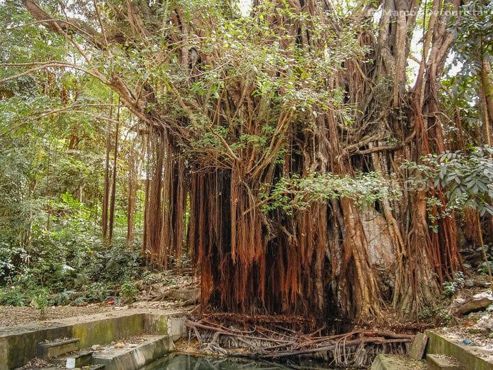 Century Old Balete Tree in Siquijor, Philippine