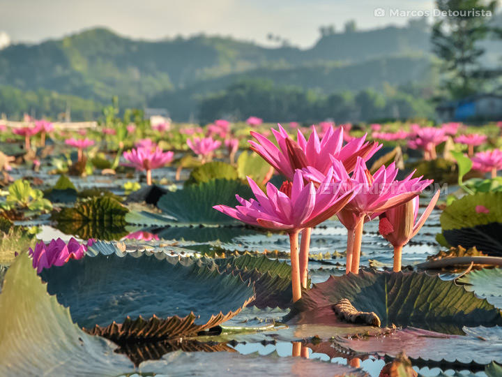 Lily Flower Blooms in Lake Sebu