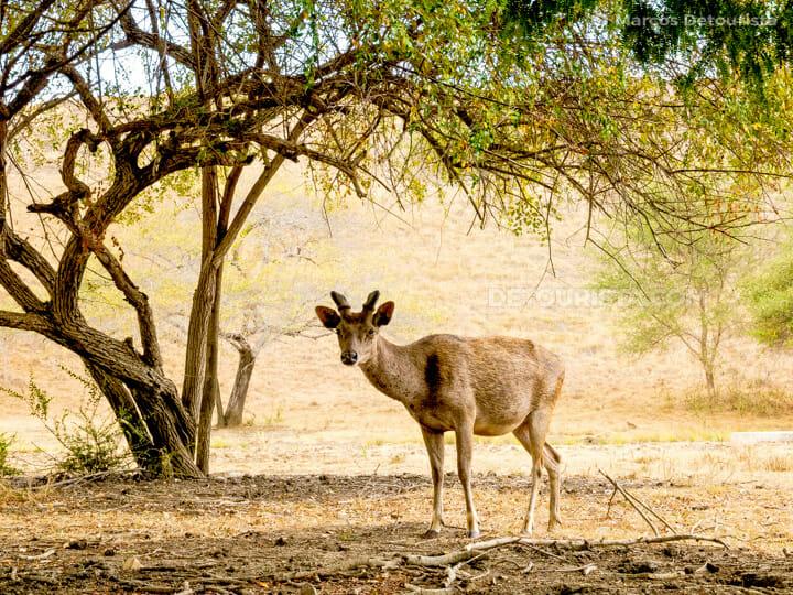 Lone deer at Rinca Island