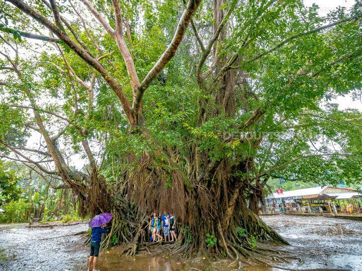 600-year old Balete tree, in Maria Aurora, Aurora, Philippines