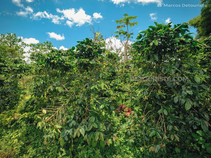 Paksong Coffee Farm