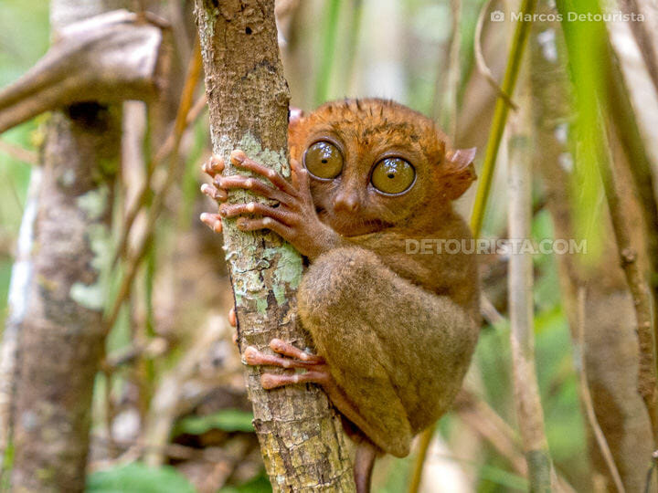 Philippine Tarsier Sanctuary in Corella, Bohol