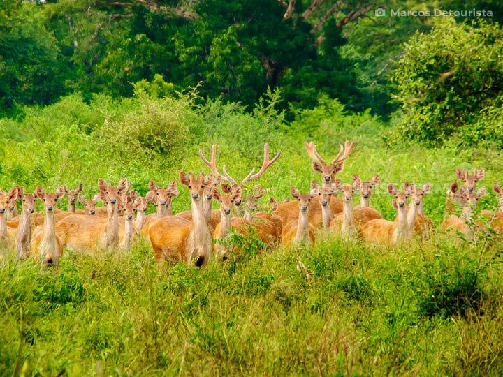 Baluran National Park -  Deer herd at Bekol Savanna, in East Java, Indonesia