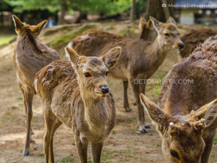 Deer herd at Nara Park, in Nara, Napan