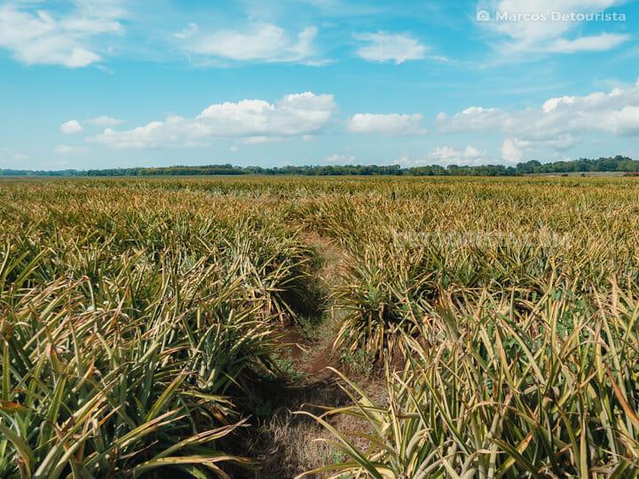 Del Monte Pineapple Plantation in Bukidnon