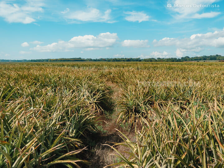 Del Monte Pineapple Plantation in Bukidnon