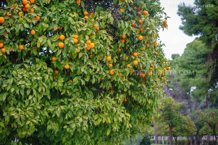 Bitter Orange Trees near Zappeion & the National  Garden in Athens, Greece