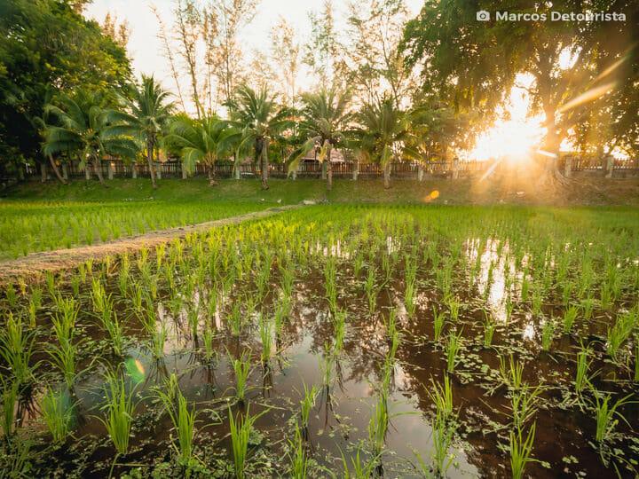 Padi Rice Garden in Langkawi, Malaysia