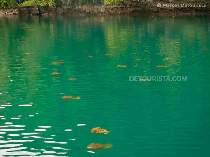 Tojoman Lagoon non-sting jellyfish, Sohoton Lagoons