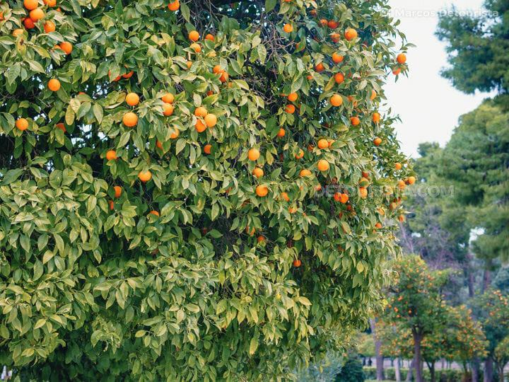 Bitter Orange Trees in Athens, Greece