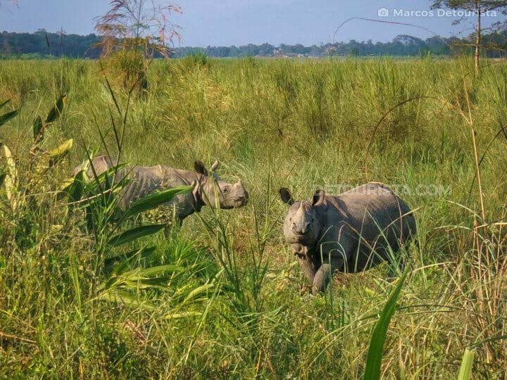 Horned Rhinos, Chitwan