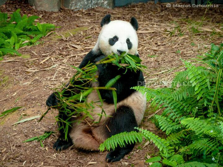 Singapore River Safari - Panda