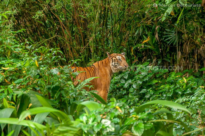 Singapore Zoo - Tiger