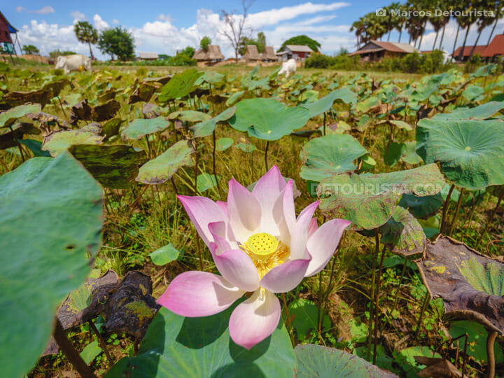 Lotus Field near Siem Reap, Cambodia