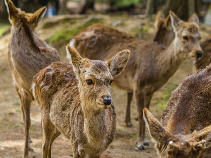 Nara Park deer, Japan