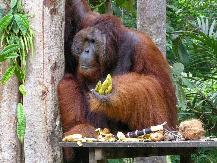 Kuching Bako Park - Semenggoh Orangutan Wildlife Centre, Malaysia