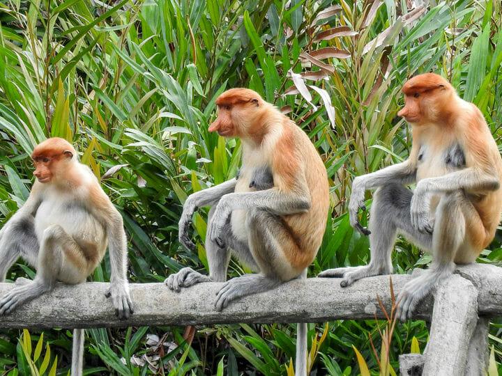 Sandakan - Proboscis Monkey in Sepilok, Malaysia