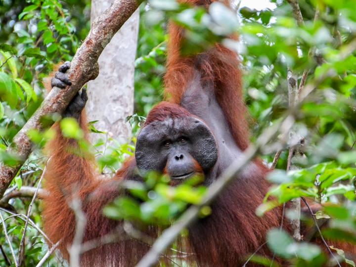 Tanjung Puting - Orangutan, Indonesia