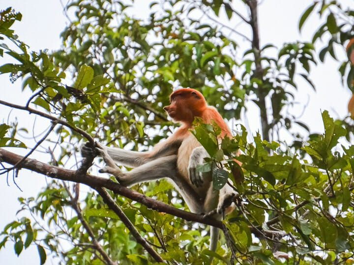 Tanjung Puting - Proboscis Monkey, Indonesia