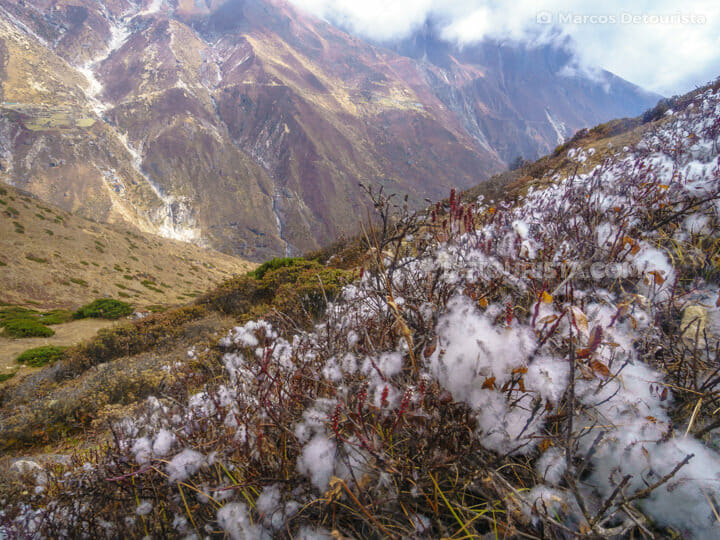 Cotton fields on the way to Dole from Gokyo, Everest Base Camp Trek, Nepal
