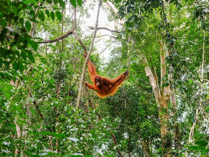 Bukit Lawang - Sumatran Orangutan
