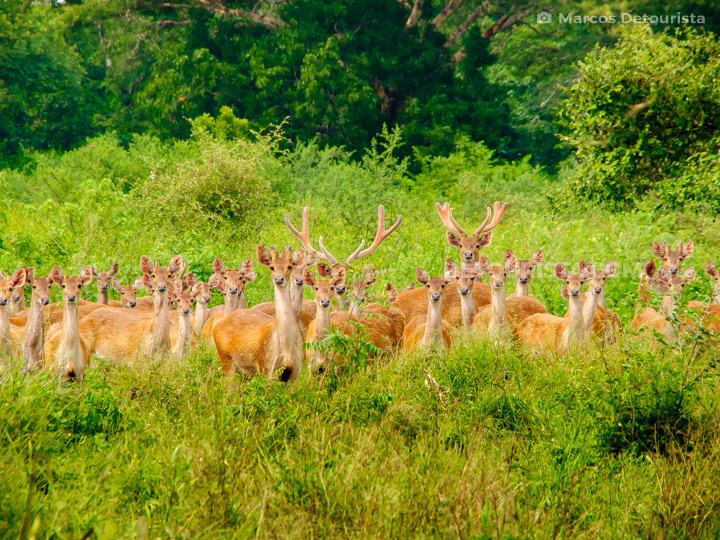 Baluran deer herd